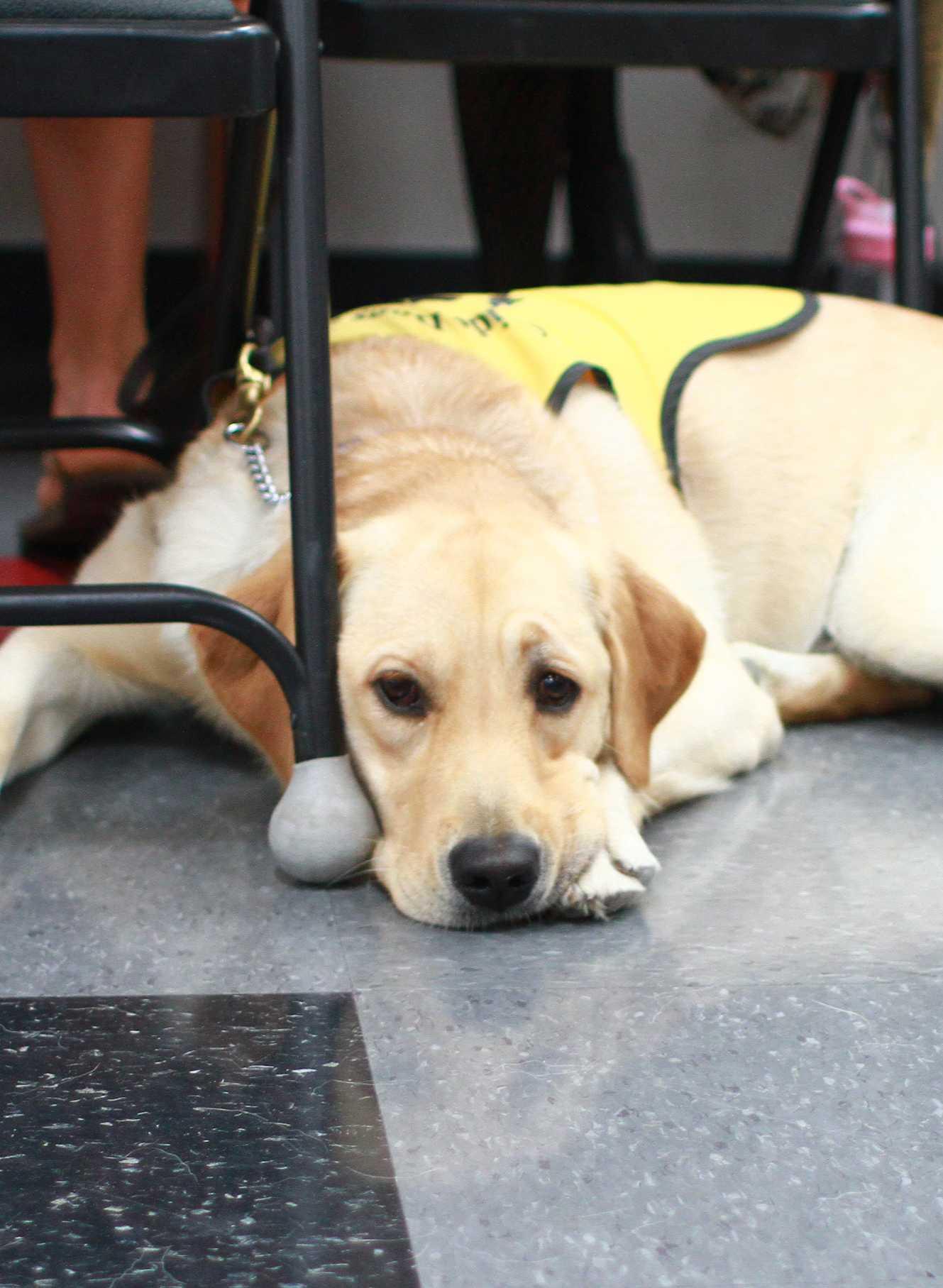 Golden retriever-labrador mix Paige trains around campus. Credit: Josh Ren/The Foothill Dragon Press